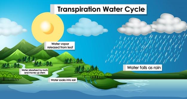 Diagrama que muestra el ciclo del agua de transpiración