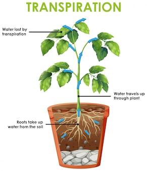 Diagrama que muestra el ciclo de transpiración