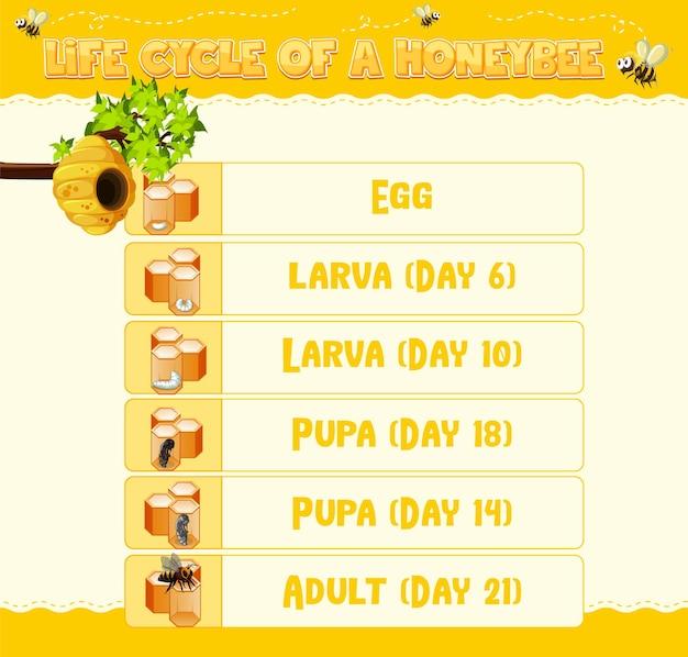 Diagrama que muestra el ciclo de vida de la abeja melífera
