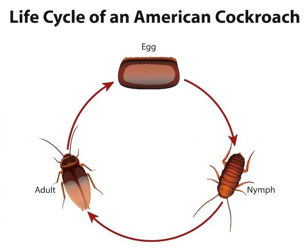 Diagrama que muestra el ciclo de vida de la cucaracha