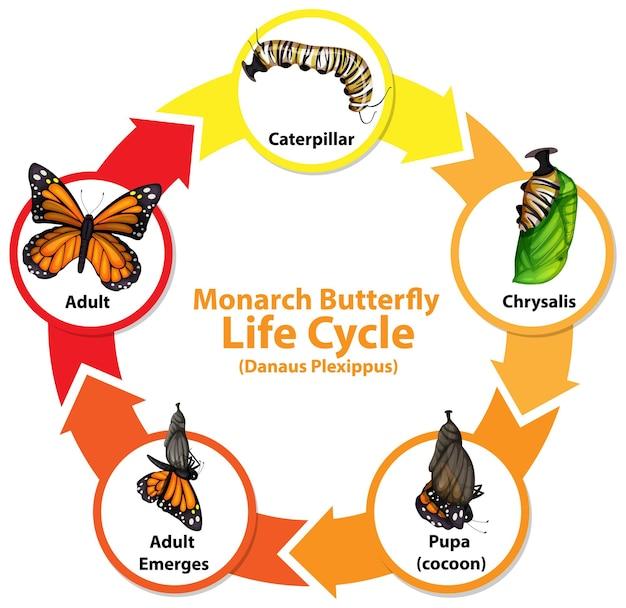 Diagrama que muestra el ciclo de vida de la mariposa.