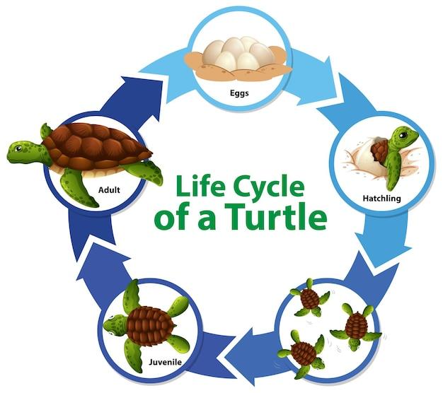 Diagrama que muestra el ciclo de vida de la tortuga.