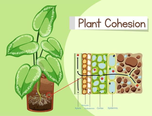 Diagrama que muestra la cohesión vegetal