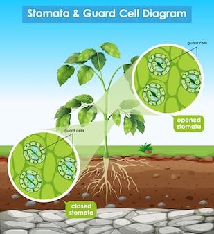 Diagrama que muestra estomas y celdas de guardia