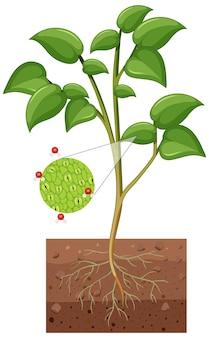 Diagrama que muestra los estomas y la célula protectora de la planta aislada sobre fondo blanco