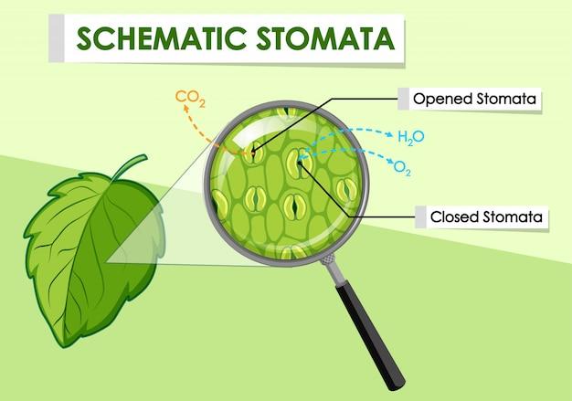 Diagrama que muestra los estomas esquemáticos de una planta.