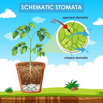 Diagrama que muestra estomas esquemáticos