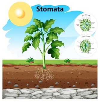 Diagrama que muestra los estomas de una planta.