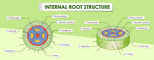 Diagrama que muestra la estructura raíz interna
