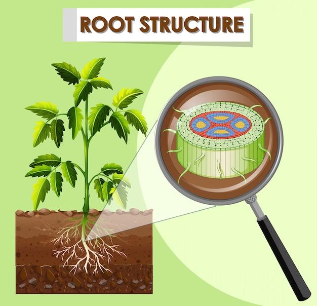 Diagrama que muestra la estructura de la raíz de una planta.