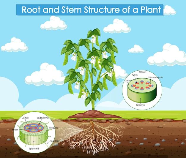 Diagrama que muestra la estructura de la raíz y el tallo de una planta