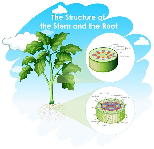 Diagrama que muestra la estructura del tallo y la raíz