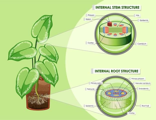 Diagrama que muestra la estructura del tallo y la raíz.