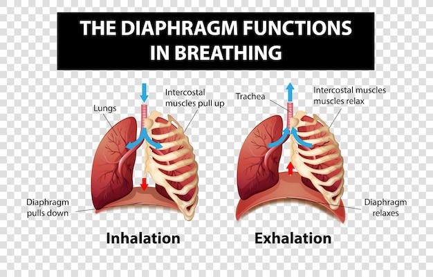 Diagrama que muestra las funciones del diafragma en la respiración sobre un fondo transparente