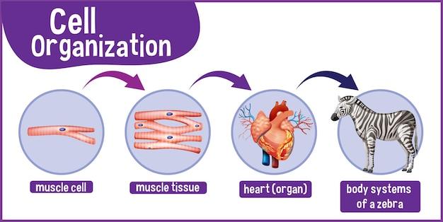 Diagrama que muestra la organización celular en una cebra.