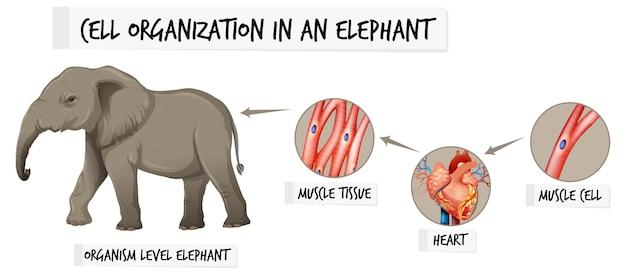 Diagrama que muestra la organización celular en un elefante.