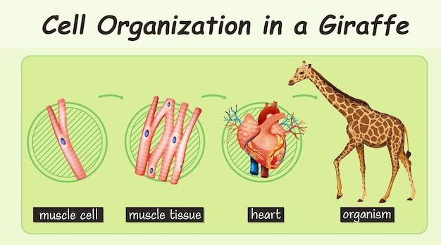 Diagrama que muestra la organización celular en una jirafa.