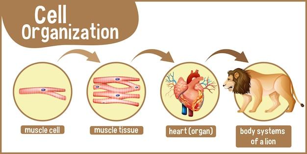 Diagrama que muestra la organización celular en un león.