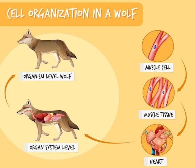 Diagrama que muestra la organización celular en un lobo.