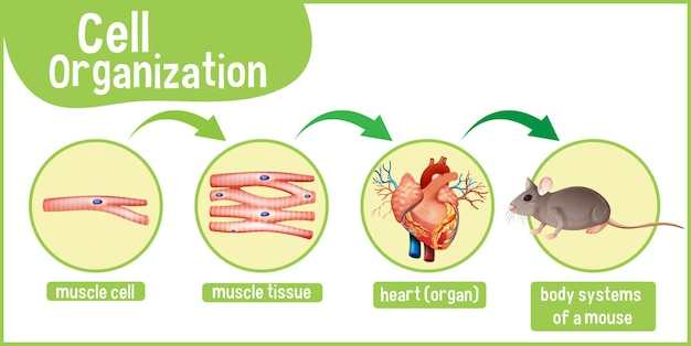 Diagrama que muestra la organización celular en un mouse.