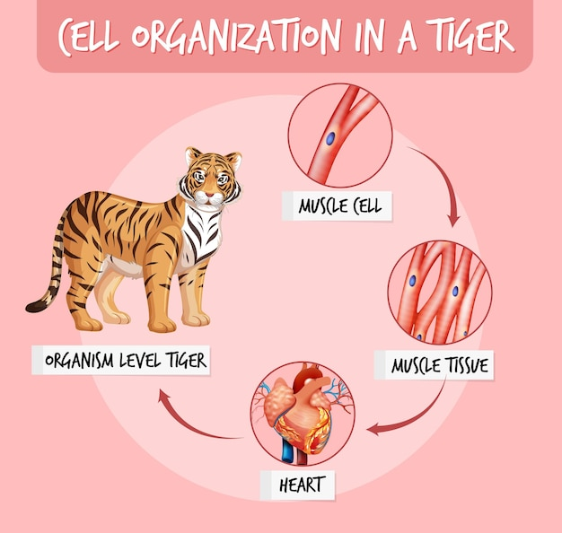 Diagrama que muestra la organización celular en un tigre.