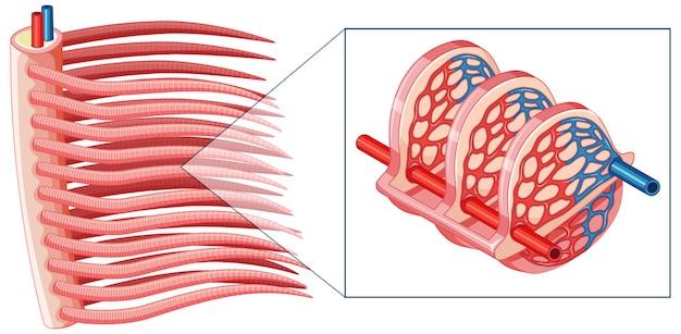 Diagrama que muestra las parrillas de un pez.