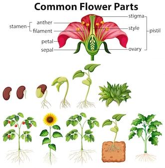 Diagrama que muestra partes de flores comunes sobre fondo blanco.