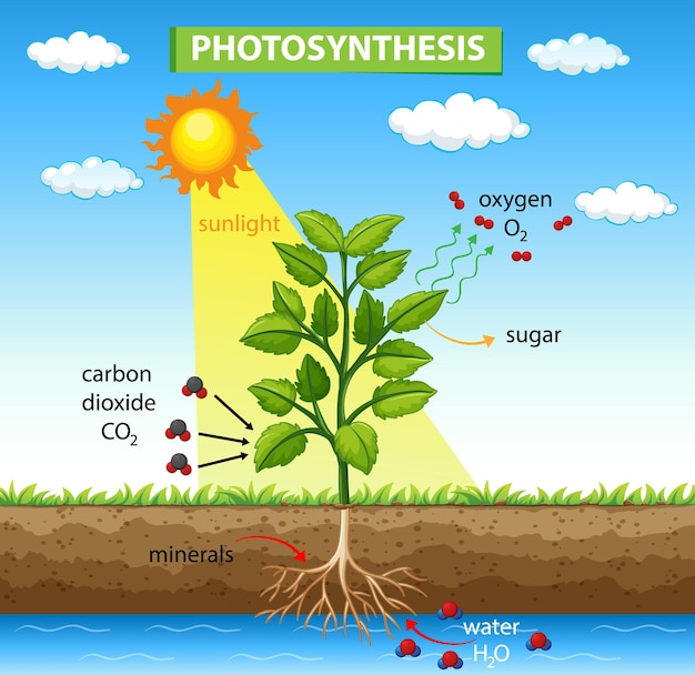 Diagrama que muestra el proceso de fotosíntesis en planta.