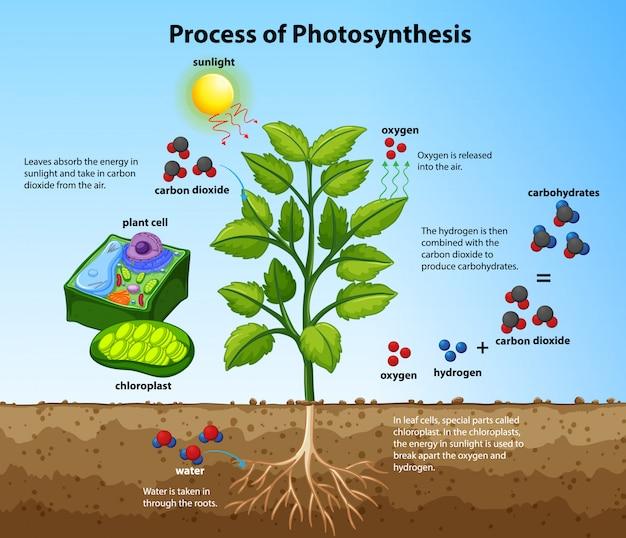 Diagrama que muestra el proceso de fotosíntesis con plantas y células.