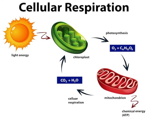 Diagrama que muestra la respiración celular