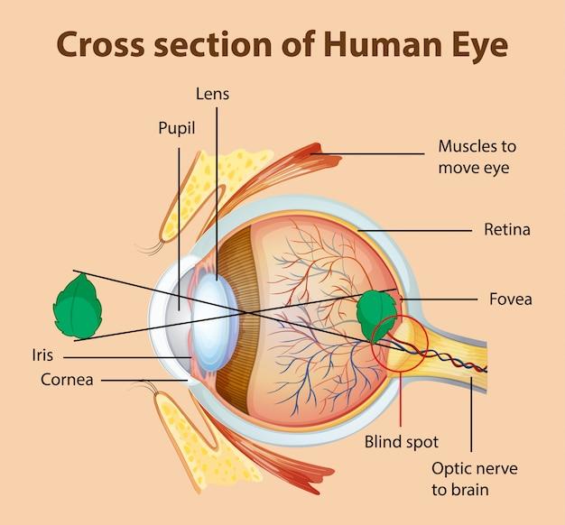 Diagrama que muestra la sección transversal del ojo humano