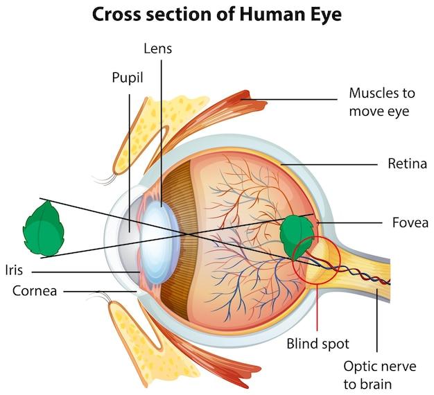 Diagrama que muestra la sección transversal del ojo humano.