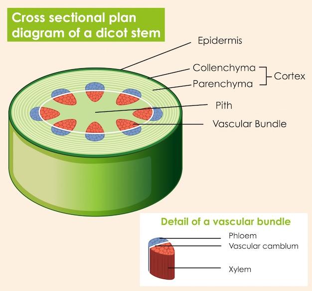 Diagrama que muestra una sección transversal de plat de tallo de dicotiledóneas