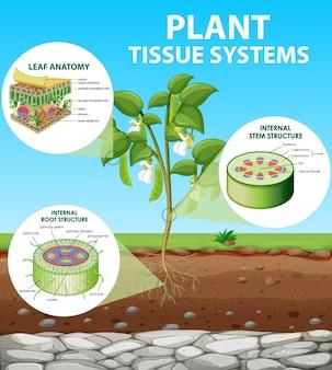 Diagrama que muestra los sistemas de tejidos vegetales