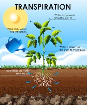 Diagrama que muestra la transpiración con planta