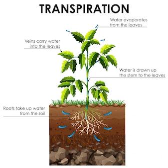 Diagrama que muestra la transpiración de la planta.