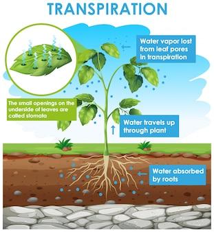 Diagrama que muestra la transpiración en planta