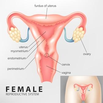 Diagrama del sistema reproductivo femenino