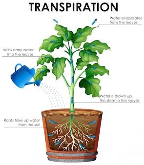 Diagrama de transpiración con plantas y agua.