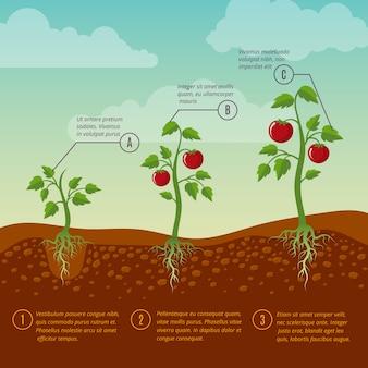 Diagrama de vector plano de etapas de crecimiento y siembra de tomates