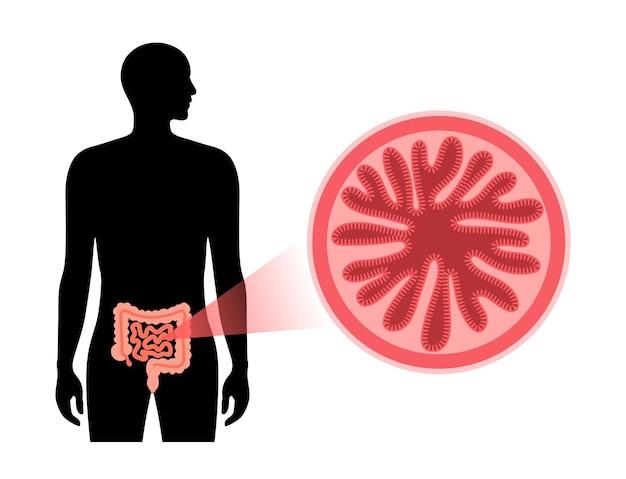 Diagrama de vellosidades intestinales. superficie de las paredes intestinales. sección transversal del intestino delgado
