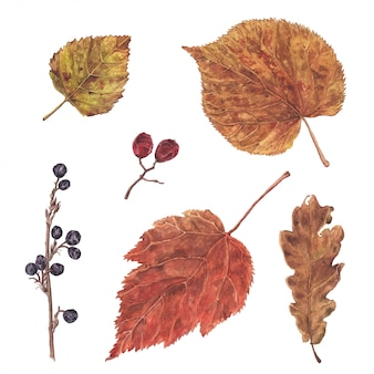 Dibujado a mano acuarela hojas y bayas, otoño, elemento de decoración de otoño, ilustración botánica