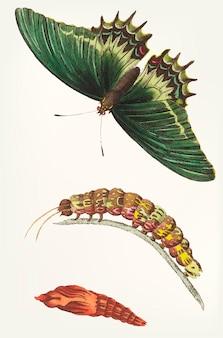 Dibujado a mano de androgeus swallowtail