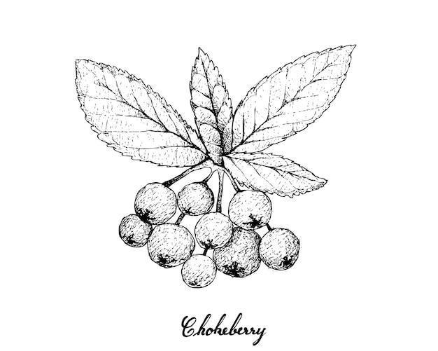 Dibujado a mano de aronia o chokecherries