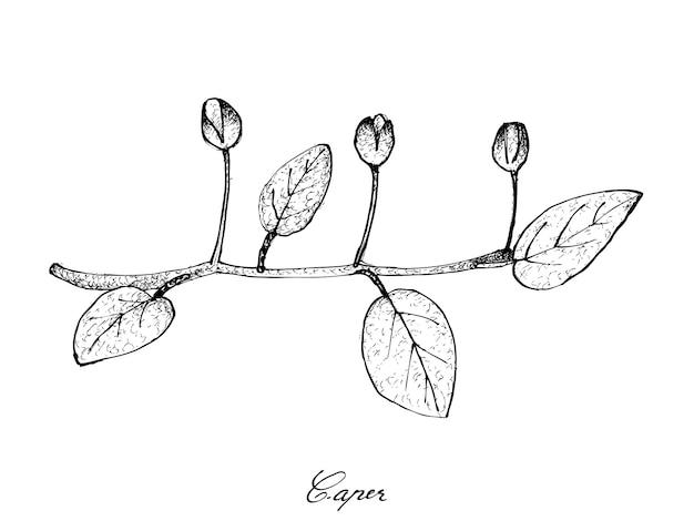 Dibujado a mano de brotes de alcaparras frescas