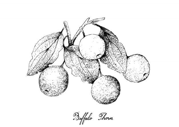Dibujado a mano de buffalo thorn fruits sobre fondo blanco