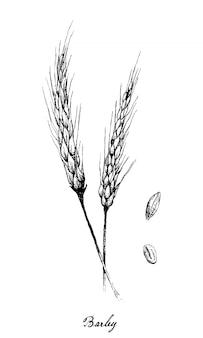 Dibujado a mano de cebada