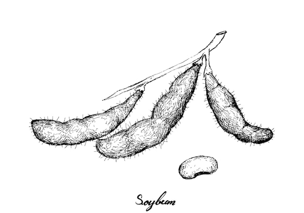 Dibujado a mano de deliciosas sojas frescas