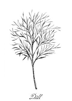 Dibujado a mano de eneldo fresco en blanco