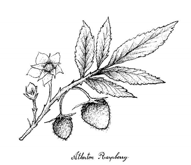 Dibujado a mano de frambuesas atherton sobre fondo blanco.